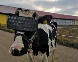 В Подмосковье развивают «умное» животноводство