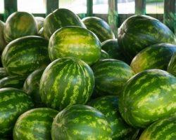 Сезон бахчевых: в МО продано почти 6 тысяч тонн