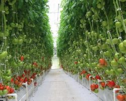 Производственный сбор овощей в подмосковных теплицах показал солидный рост
