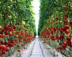 «Луховицкие овощи»: инвестиции комбината обеспечили появление упаковочно-распределительного центра в МО