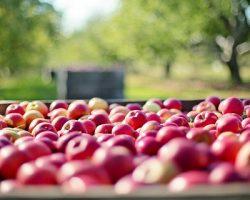 Московская фирма создаст яблоневые сады  на Кубани