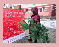 В МО откроются пункты приема хвойных деревьев